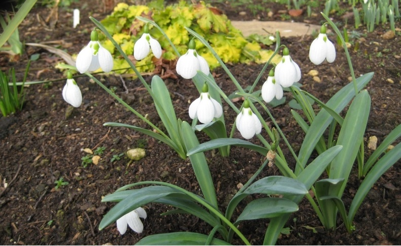 Snowdrops / NGS Gardens