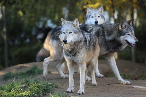 Grey wolves/Ronnie Macdonald/flickr