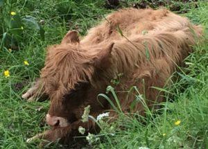 Highland Calf, Pollok Park